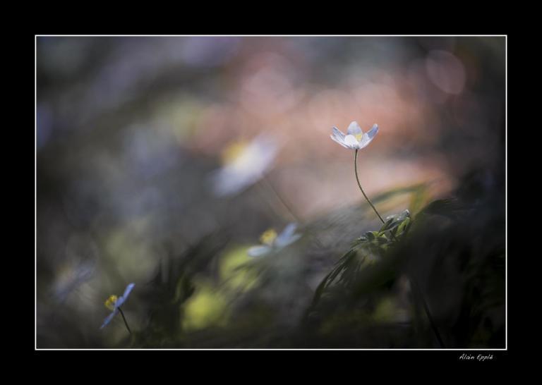 Anémone sylvestre - MF9