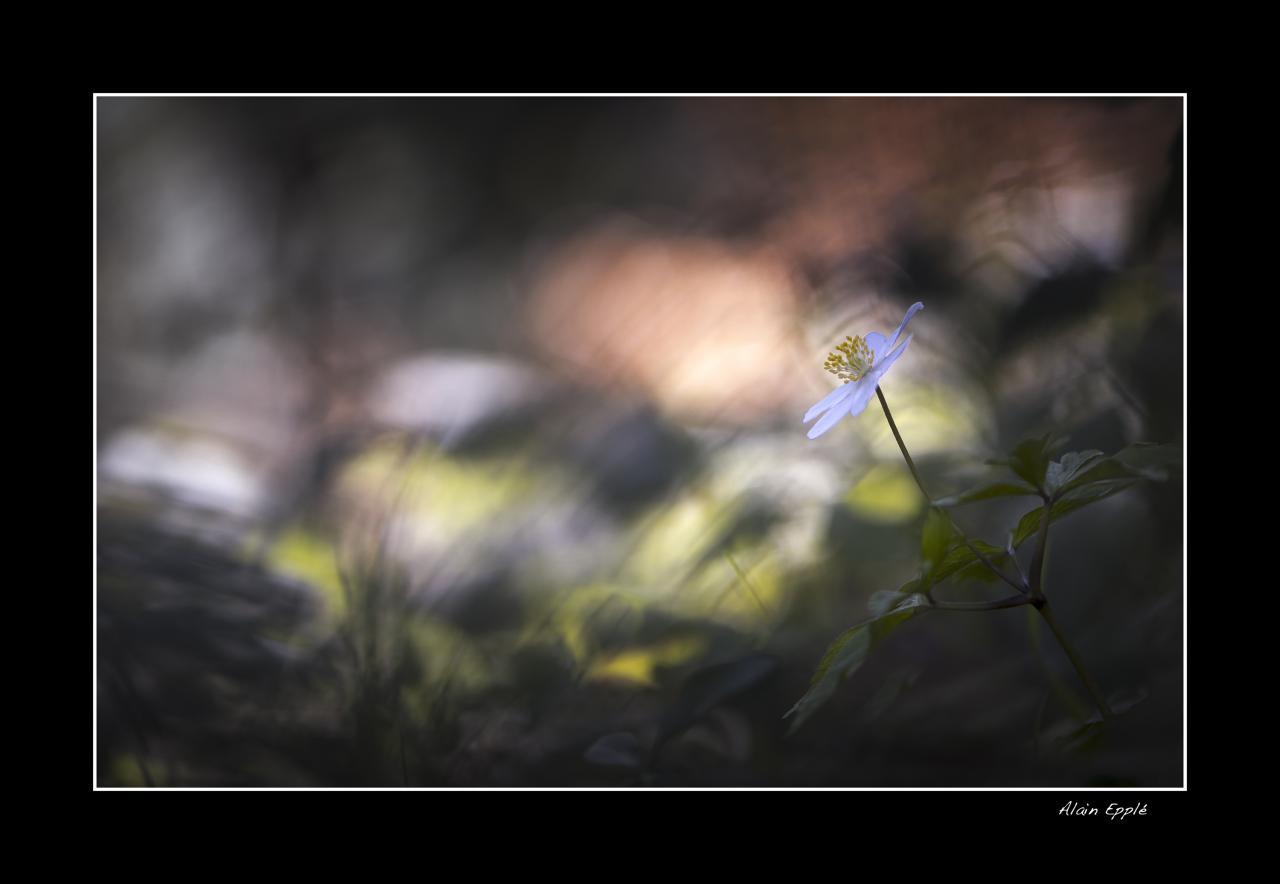 Anémone sylvestre - MF8