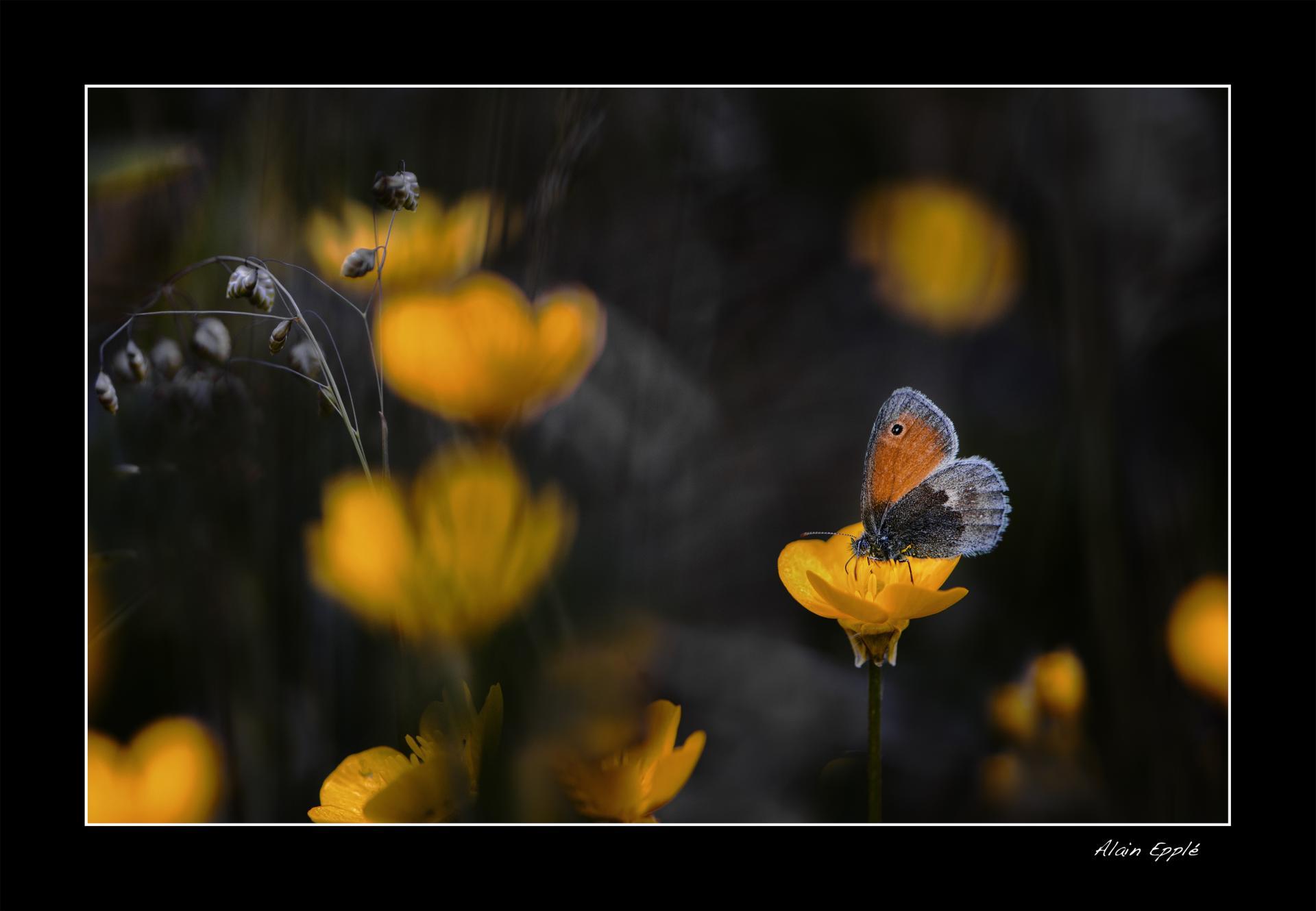 Papillon Procris - Mi5