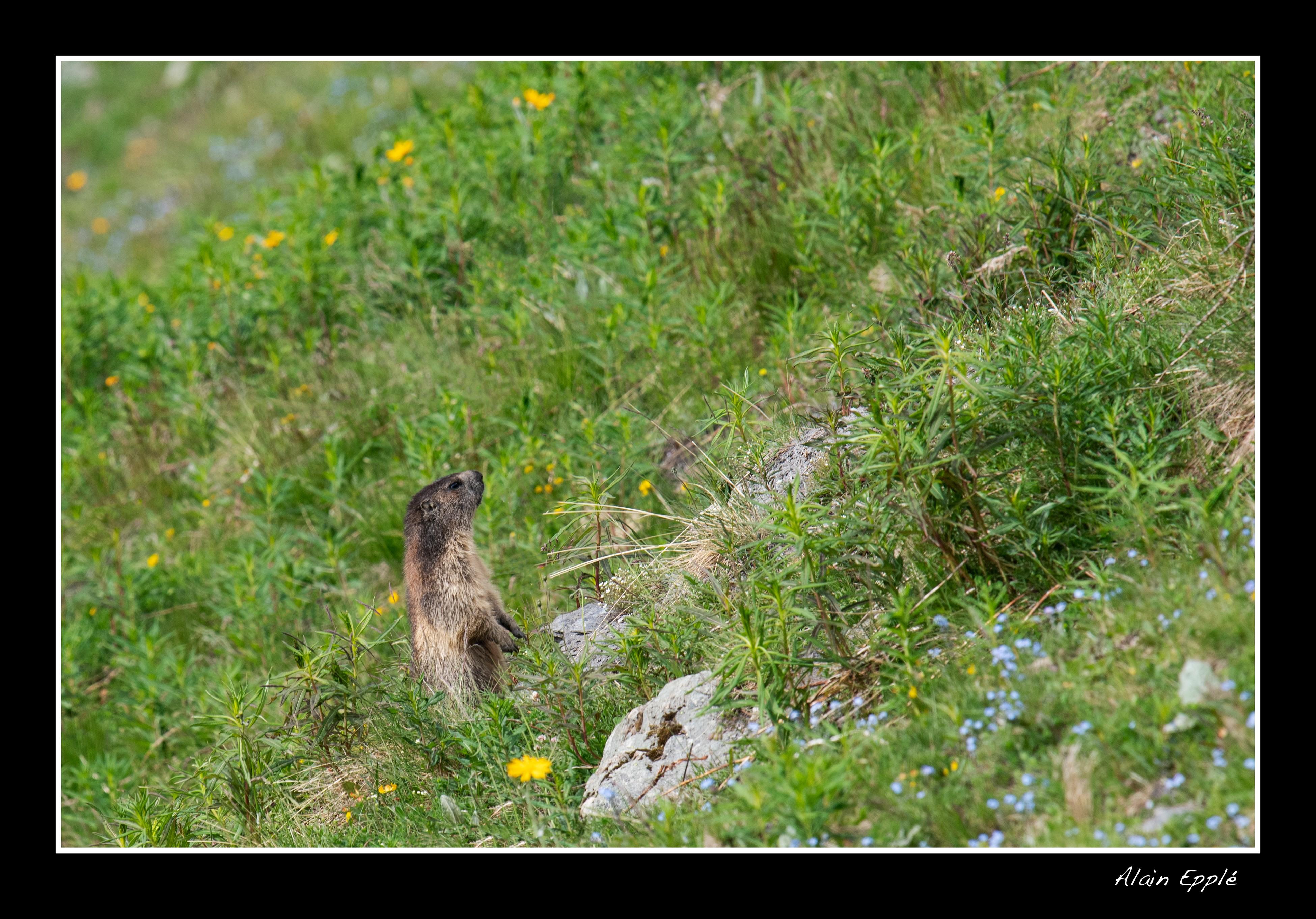 Marmotte - A14