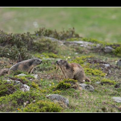 Marmottes - A15