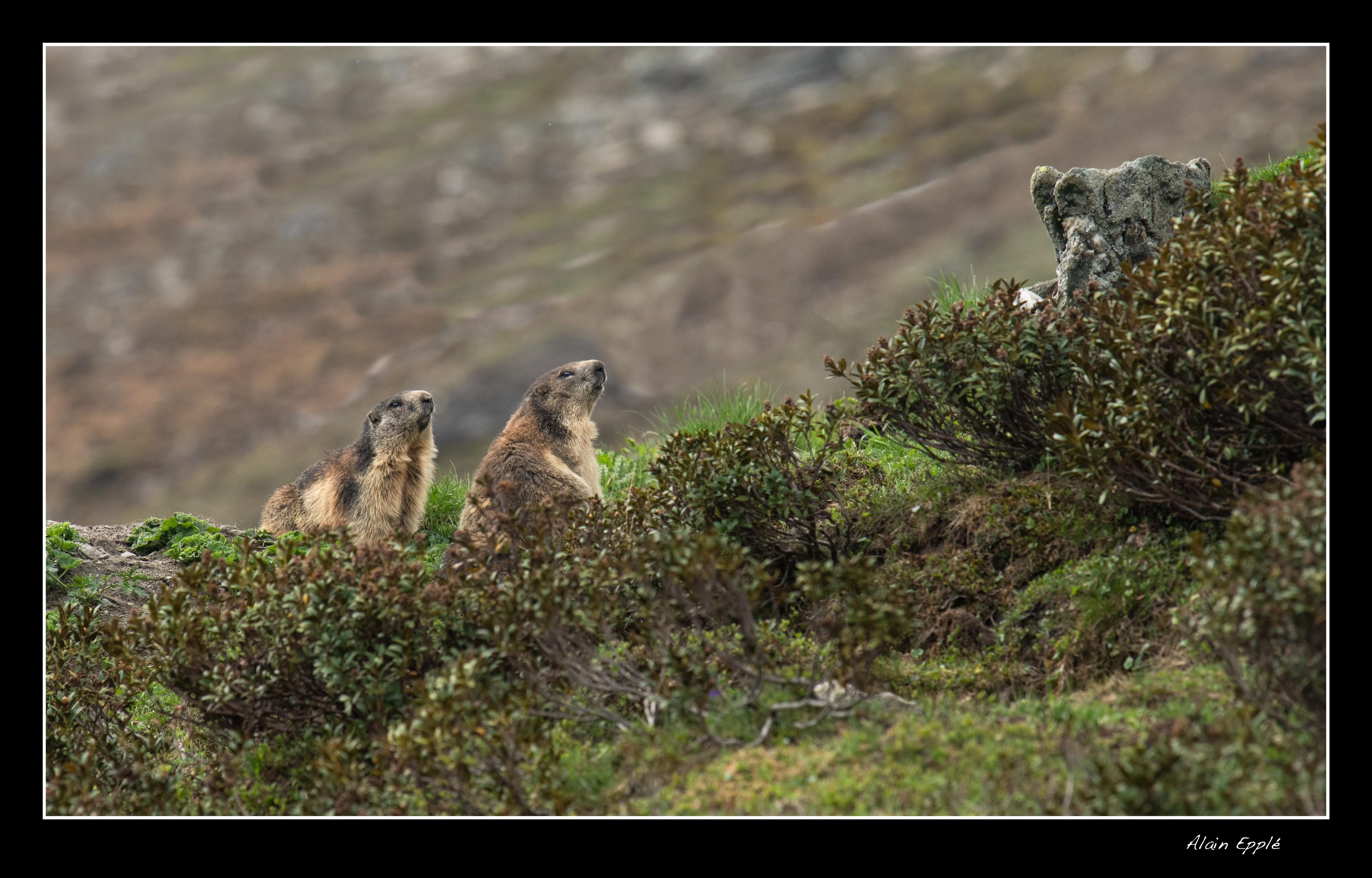 Marmottes - A16